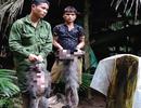 2 cá thể Voọc xám quý hiếm ở Vườn quốc gia Pù Mát bị bắn chết