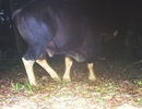 Phát hiện bò tót gần khu vực suối nước nóng tại Quảng Bình