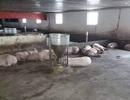 Phát hiện 200 con heo lở mồm long móng ở trang trại lớn nhất Huế