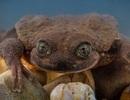 Chú ếch cô đơn nhất thế giới, cuối cùng đã có một cuộc hẹn hò!