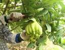 Phật thủ Hà Nội vào vụ Tết: Thương lái mua 400 triệu đồng một vườn