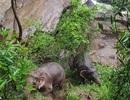Cố gắng giải cứu bạn rơi xuống thác nước, 6 chú voi con thiệt mạng