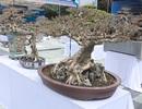 Mãn nhãn với vẻ đẹp kỳ dị của hàng trăm cây sanh bonsai ở Thanh Hóa