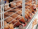 """Giá gà """"rớt thảm"""", ngành chăn nuôi gia cầm nói do lỗi Tổng cục Thống kê"""