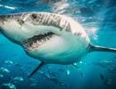 Cá mập khổng lồ gẫy răng vì cắn nhầm đuôi thuyền