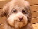 Chú chó có đôi mắt và miệng cười như con người gây bão mạng