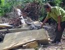 Cận cảnh rừng tự nhiên bị phá tan hoang tại Phú Yên!