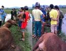 Sét đánh khiến một người nguy kịch, 6 con bò bị chết