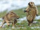 """""""Sói và sóc"""" đoạt giải nhất trong cuộc thi Nhiếp ảnh động vật hoang dã 2019"""