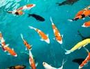 """""""Mục sở thị"""" nuôi, nhân giống cá Koi Nhật Bản tại Bình Định"""