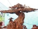 Làm từ sẹo cây nghìn năm tuổi, bộ bàn ghế có giá hơn 5 tỷ đồng