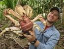 Xem loài cua lớn nhất trên cạn rỉa sạch xác của một... con heo