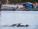 Đối phó áp thấp nhiệt đới, Khánh Hòa cưỡng chế di dân từ lồng bè vào bờ