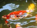 """Nuôi bạt ngàn loài cá """"siêu đẹp"""", anh Luyện đút túi hơn 2 tỷ đồng mỗi năm"""