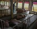 Cơn sốt giá thịt lợn hoành hành, nỗi đau đang dần được cảm nhận ở Việt Nam