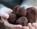 Loại nấm xấu xí có giá vài trăm triệu mỗi kg, nhà giàu tìm mua bằng được