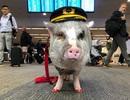 """Sân bay Mỹ tuyển lợn làm """"chuyên viên trị liệu"""" tâm lý cho khách"""