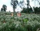 """Du khách thích thú trải nghiệm vẻ đẹp vườn cúc họa mi trên vùng """"đất lửa""""!"""