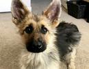 Chó mang gien độc đáo cả đời trông như chú cún con