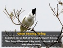 """Loài chim """"ồn ào"""" nhất thế giới: Tiếng kêu lớn hơn nhạc Rock, gây hại cho tai người"""