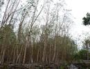 Chưa xác định nguyên nhân cây héo úa bất thường quanh dự án thép Hòa Phát