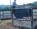 Bắt hơn 3,5 tấn lợn nhập lậu từ Lào vào nội địa, giữa căng thẳng dịch tả châu Phi