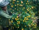 Nhọc nhằn nghề trồng quất cảnh