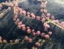 Hoa anh đào khoe sắc tuyệt đẹp giữa đồi chè Sa Pa