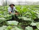 Bỏ việc ngân hàng lương cao về trồng rau