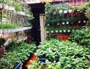 """Đã mắt với những vườn rau trong phố """"ăn cả năm không hết"""""""