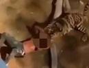 Sống sót thần kỳ sau khi trượt chân rơi xuống chuồng hổ ở Ả rập Xê út