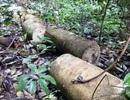 Để phá rừng hàng loạt, nhiều cán bộ kiểm lâm bị kỷ luật cảnh cáo