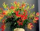 """Loài hoa đỏ rực lửa từ Nhật """"đốt"""" túi tiền khách dịp Tết"""