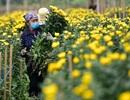 Người dân Tây Tựu rạng rỡ vì trúng vụ hoa cúc Rằm tháng Chạp