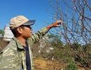 Ninh Bình: Kiếm cả tỷ đồng từ đào phai dịp cận Tết