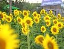 """Mãn nhãn với vườn """"hoa mặt trời"""" trên Cao Nguyên"""