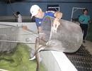 Quảng Bình: Kiếm tiềm tỷ nhờ nuôi cá chình trên cát trắng