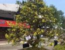 Ngắm cây hoàng mai 113 năm tuổi, giá tiền tỷ tại Quảng Bình
