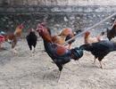Nuôi cả vườn gà gần trăm con ăn Tết: Nhà nông miễn nhiễm với bão giá thịt lợn
