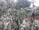 Mùng 2 Tết đi thăm rẫy, tá hỏa phát hiện hàng chục cây sầu riêng bị chặt phá