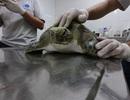 Rùa xanh mắc vào lưới đánh cá, bài tiết ra toàn rác thải của con người