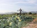 500 đồng/kg dưa hấu, nông dân khóc ròng bỏ mặc cả ruộng dưa