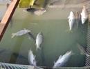 Hàng chục tấn cá nuôi lồng bè chết hàng loạt