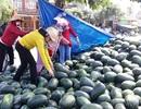 Giá dưa hấu tuột dốc vì corona, người trồng lao đao lo thu hồi vốn