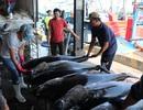 Cá ngừ đại dương mất giá sau Tết nguyên đán, ngư dân khốn đốn