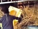 Dùng rơm ngụy trang để vận chuyển thuốc lá lậu