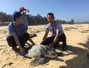 Thả cá thể đồi mồi nặng hơn 40kg về môi trường biển