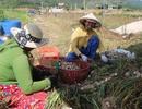 Khánh Hòa: Người làm nghề trồng tỏi thấp thỏm vì giá bán giảm sâu