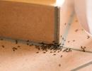 Vì sao nhà bạn có kiến, phải làm gì để nhà không có kiến?