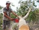Nông dân ngậm ngùi chặt bỏ vườn cây trăm triệu